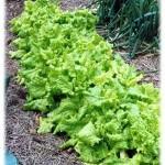 Используйте садовый участок как источник свежей и здоровой растительной пищи