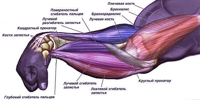 Предплечье человека. Мышцы предплечий
