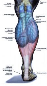 Мышцы Голени Голень человека
