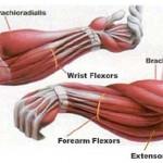 Мышцы предплечья. Предплечье человека