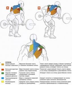 Тяга штанги в наклоне. Рабочая мускулатура. Анатомия
