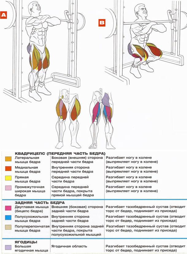 Приседания со штангой в машине смита Анатомия Тренировка квадрицепсов