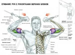 Качаем бицепс Сгибание рук на верхних блоках Анатомия