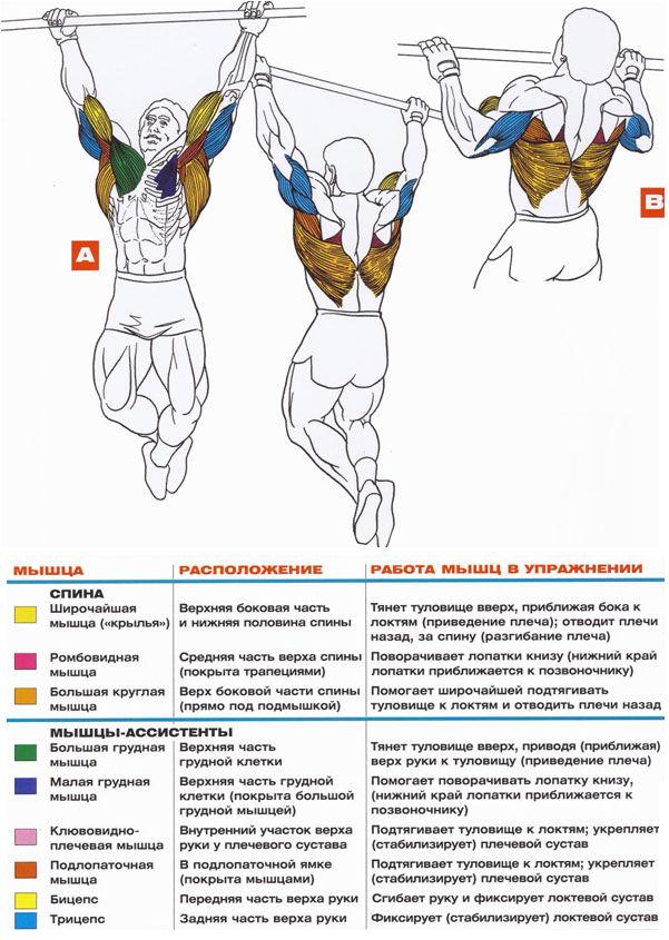 Подтягивания широким хватом Анатомия