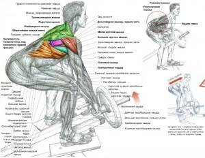 Тяга Т штанги в наклоне к поясу Анатомия Тренировка широчайших мышц спины