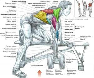 Тяга штанги в наклоне одной рукой Анатомия Тренировка широчайших мышц спины