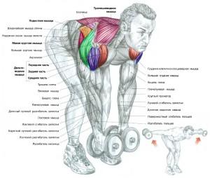 Тренировка задних дельтовидных мышц Анатомия