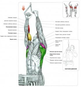 Анатомия силовых упражнений. Тяга верхнего блока параллельным хватом к груди