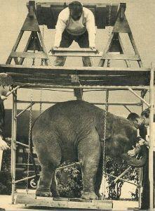 Человек поднимает слона Рекорды прошлого Бек лифт Backlift Bac klift Бэклифт