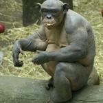 Лысая обезьяна бодибилдер Силовые данные обезьян