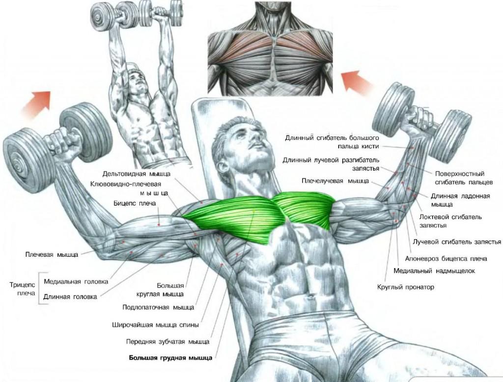 Wunderbar Chest Workout Anatomy Bilder - Menschliche Anatomie Bilder ...