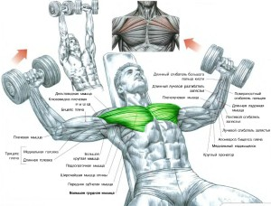 Тренировка верхней части груди разведение гантелей на наклонной скамье