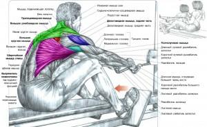 Тренировка широчайших мышц спины Анатомия силовых упражнений Тяга нижнего блока сидя к поясу Качаем крылья
