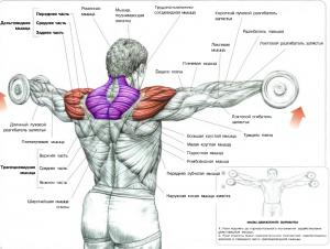 Подъемы гантелей через стороны Тренеровка дельтовидных мышц плеч Анатомия физических упражнений