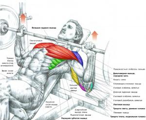 Жим лежа на наклонной скамье Анатомия физических упражнений