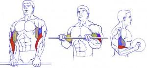 Подъемы на бицепс обратным хватом, тренировка мышц предплечий и бицепсов, анатомия бодибилдинга