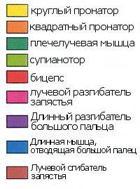 Мышцы предплечья по цветам, анатомия