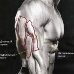 Мышцы трицепса, анатомия, длинный пучок, латеральный пучок, медиальный пучок