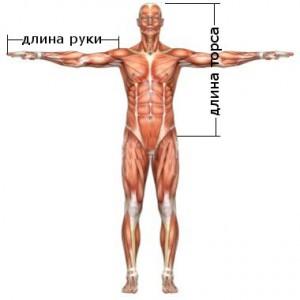 Длина торса и рука для определения предпочтительного типа становой тяги