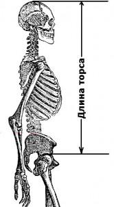 Длина торса для определения предпочтительного типа становой тяги