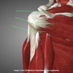 Анатомия, мышцы вращатели плеча