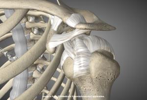 Плечевой сустав, сухожилия, суставная сумка, связки