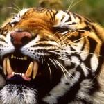 Тигр, второй по силе хищник, после медведя
