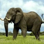 Слон. самое сильное животное на суше
