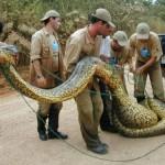 Анаконда, самая большая и сильная змея в мире