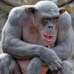 Физическая сила человекообразных обезьян. Обезьяна бодибилдер