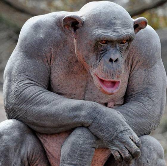фото человекообразных обезьян