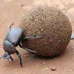 Навозный жук, самое сильное насекомое