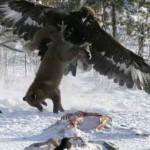 Орёл охотится на лису, поднимает её к верху