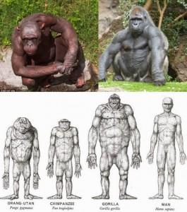 Мышцы человека и обезьян, сравнения. Физическая сила обезъян