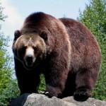 Гризли, самый крупный подвид бурого медведя